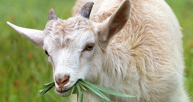 Chevrier fromager en agriculture biologique