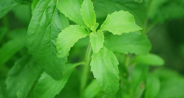 La Stévia : la plante à sucre naturelle