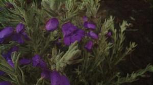 """J'ai amélioré cette image pour afficher les fleurs de cette Eremophila sur le spectacle. """"Class ="""" size-medium wp-image-5190 """"data-recalc-dims ="""" 1 """"/>   <p class="""