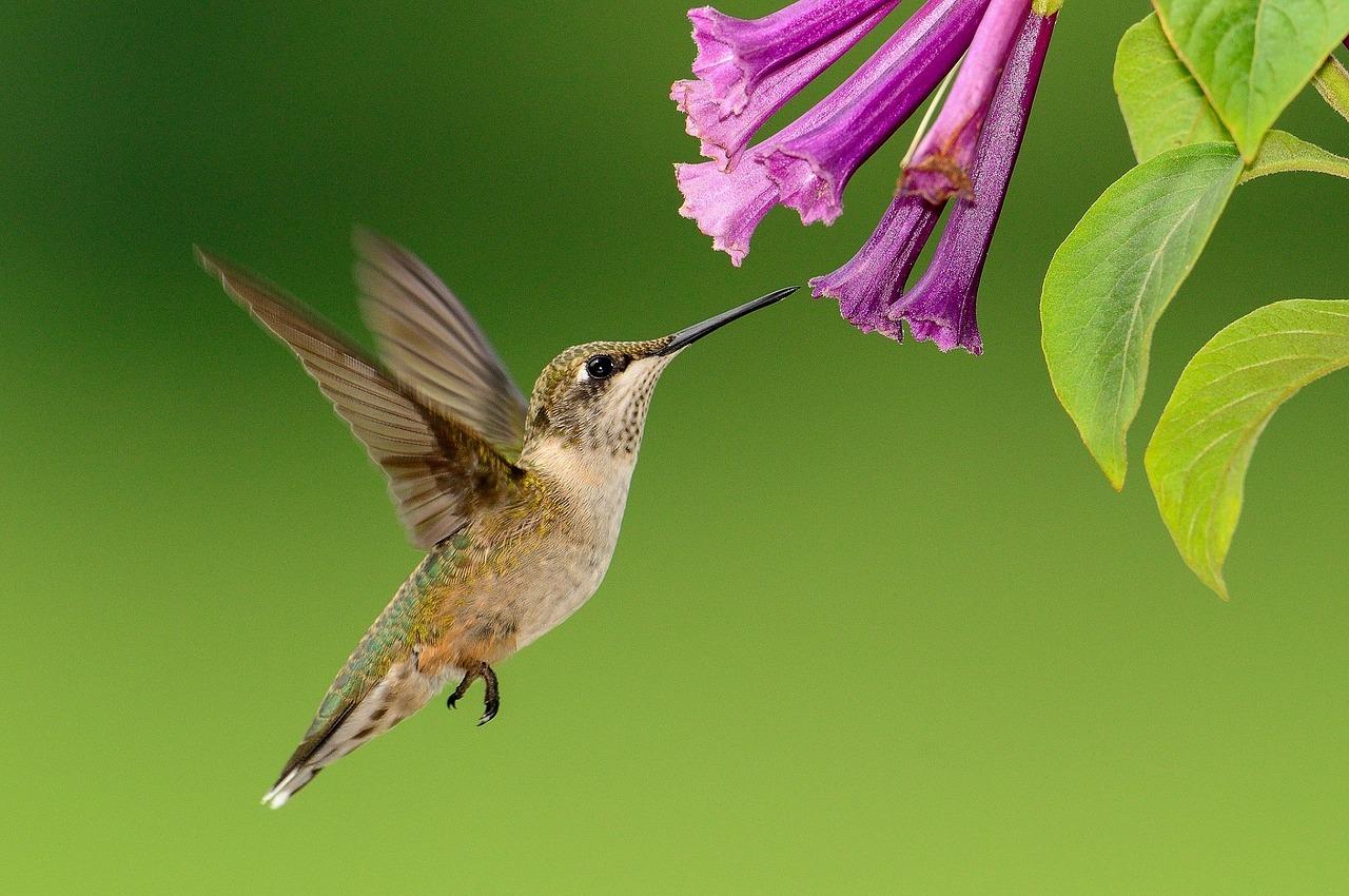 Plantes qui attirent des colibris | Les jardins de Laurent