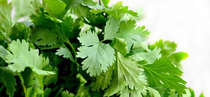 Coriandre et Cilantro: planter, cultiver et récolter du coriandre et du cilantro