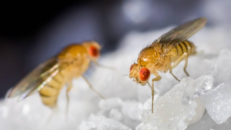 Les mouches des fruits: comment se débarrasser des mouches des fruits | D'où viennent les fruits?