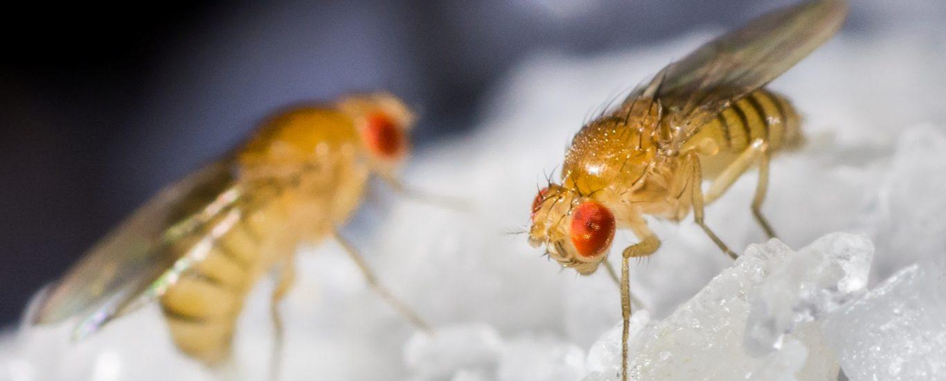 débarassez vous de mouches qui mangent vos fruits
