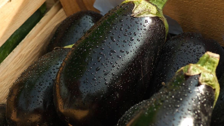 Aubergine: planter, cultiver et récolter l'aubergine