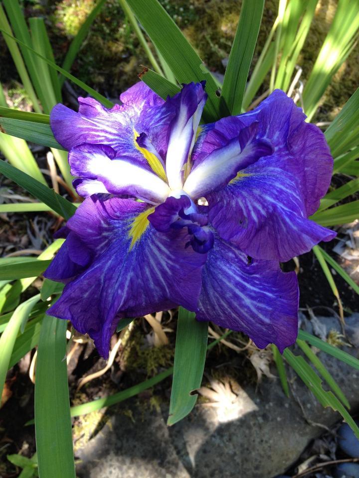 L'iris japonaise croissante | Les jardins de Laurent du Vieux-Agriculteur