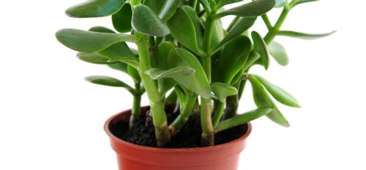 Plantes de jade: comment planter, cultiver et soigner des plantes de jade
