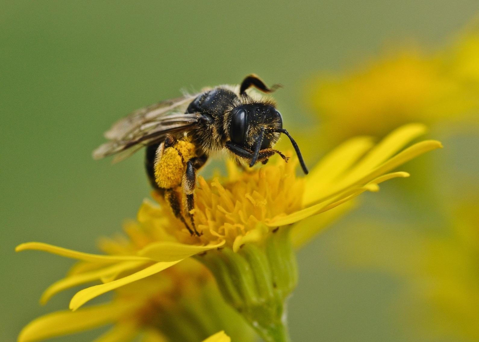 Les abeilles indigènes: les meilleurs pollinateurs pour votre jardin