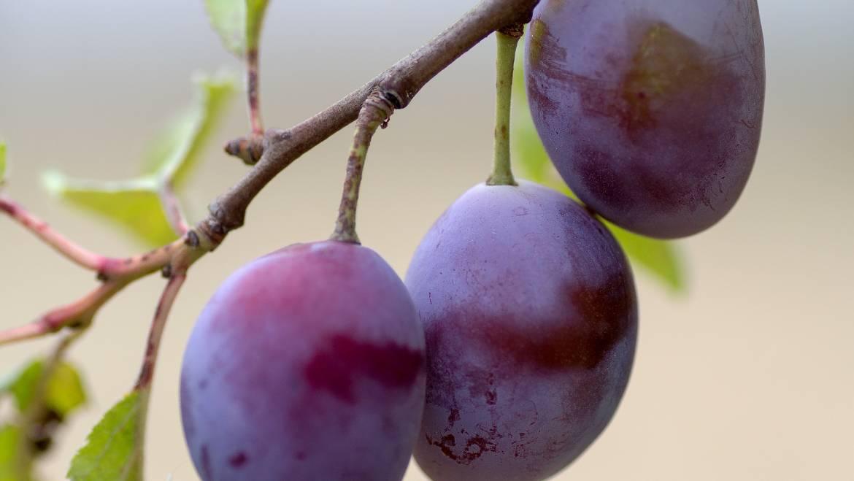 Prunes: planter, cultiver et récolter des prunes