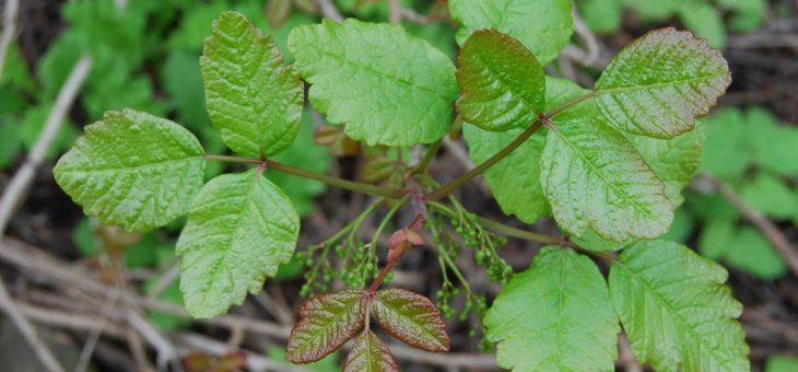 Poison Oak: Identification et traitement du chêne-poison