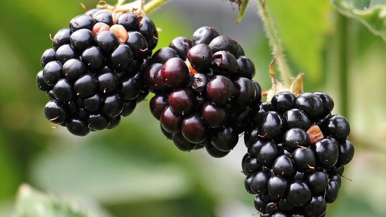 Mûres: planter, cultiver et récolter les mûres Blackberry