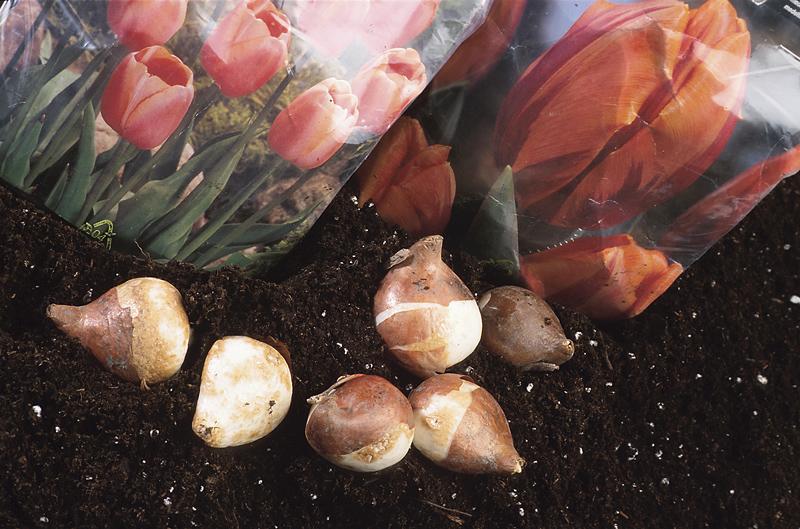 Bulbes à fleur d'automne | Comment planter des ampoules pour les fleurs de printemps