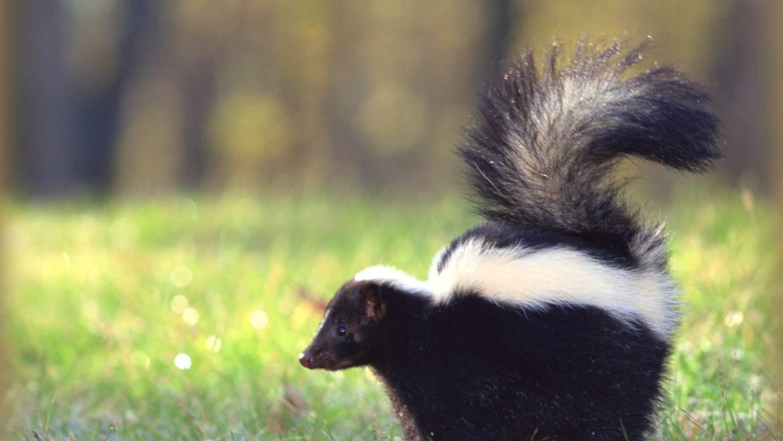 Skunks: Comment identifier et se débarrasser des mouffettes dans le jardin