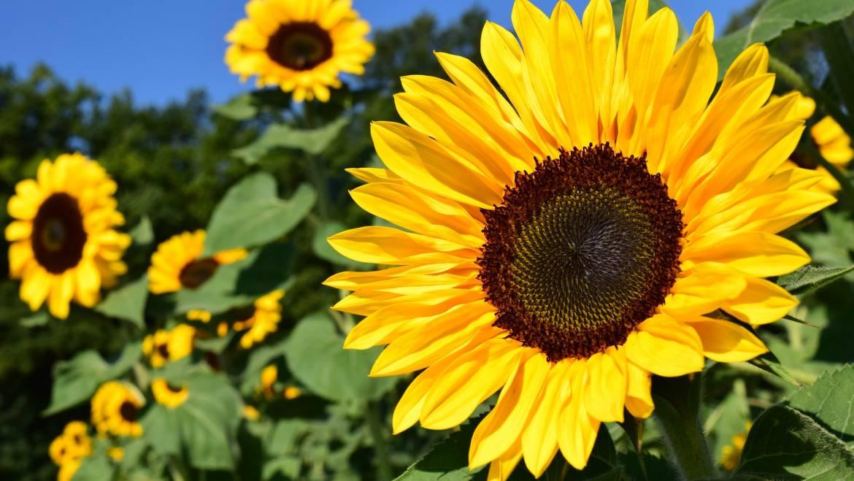 Tournesols: Comment planter, cultiver et soigner des plantes à tournesol