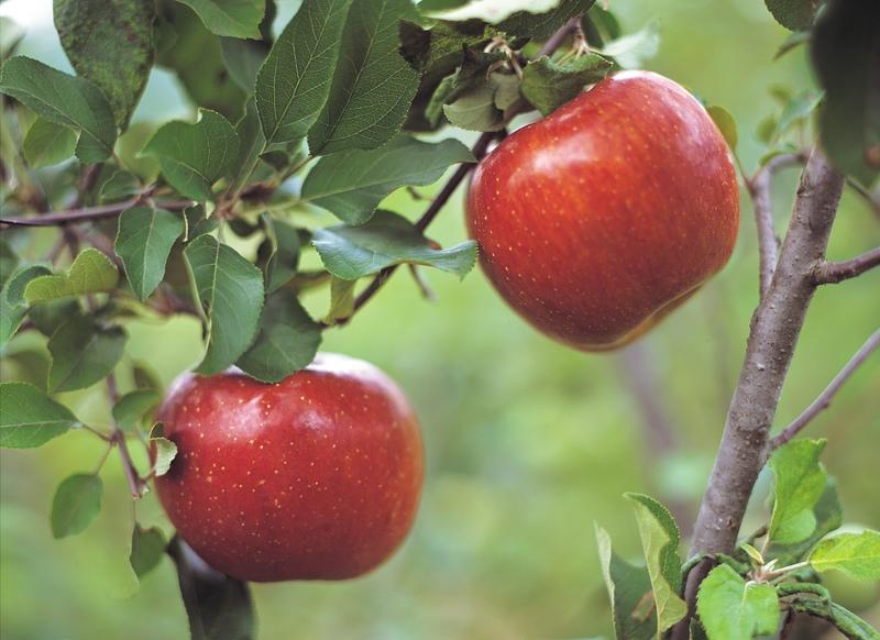 Saison des pommes | Oldman's Les jardins de Laurent