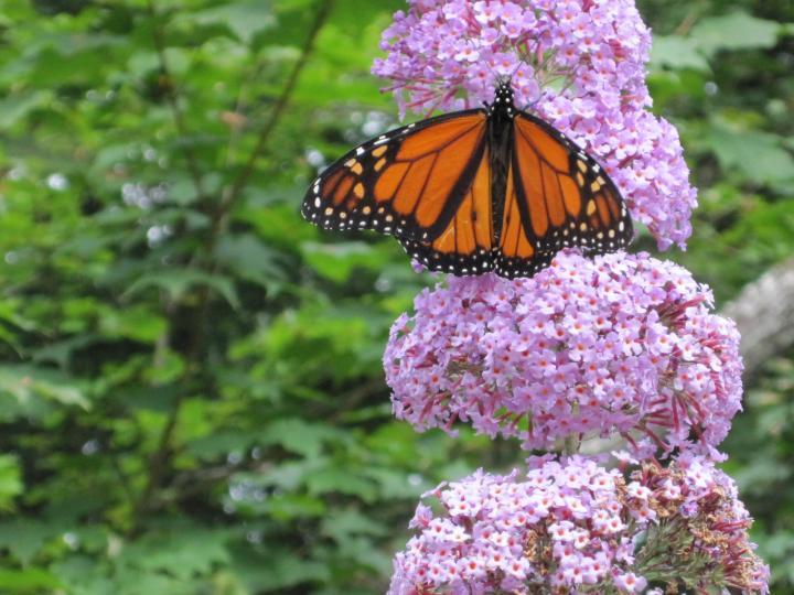 Papillons Monarques: Chrysalis Watch | Les jardins de Laurent du Vieux-Agriculteur