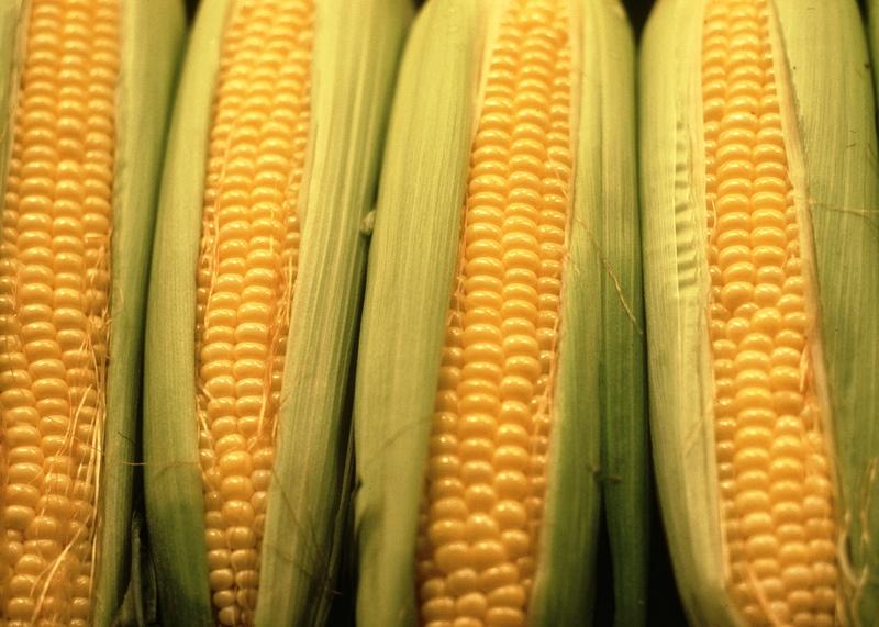 Maïs sucré: planter, cultiver et récolter du maïs doux