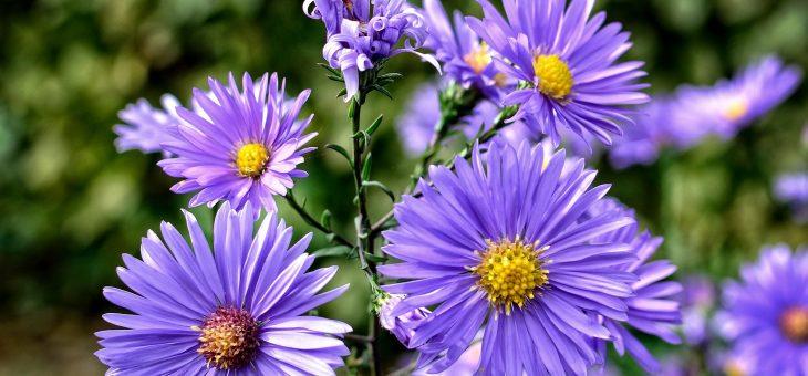 Aster: Comment planter, cultiver et soigner les fleurs d'Aster