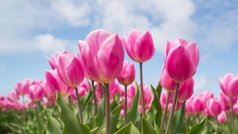 Plante d'ampoules pour les fleurs de printemps | Bulbes de fleurs d'automne