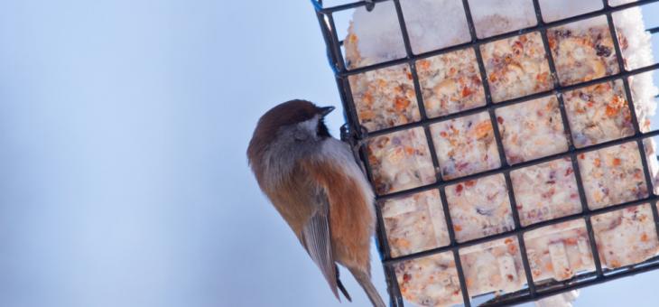 Suet pour oiseaux – Recette maison pour oiseaux