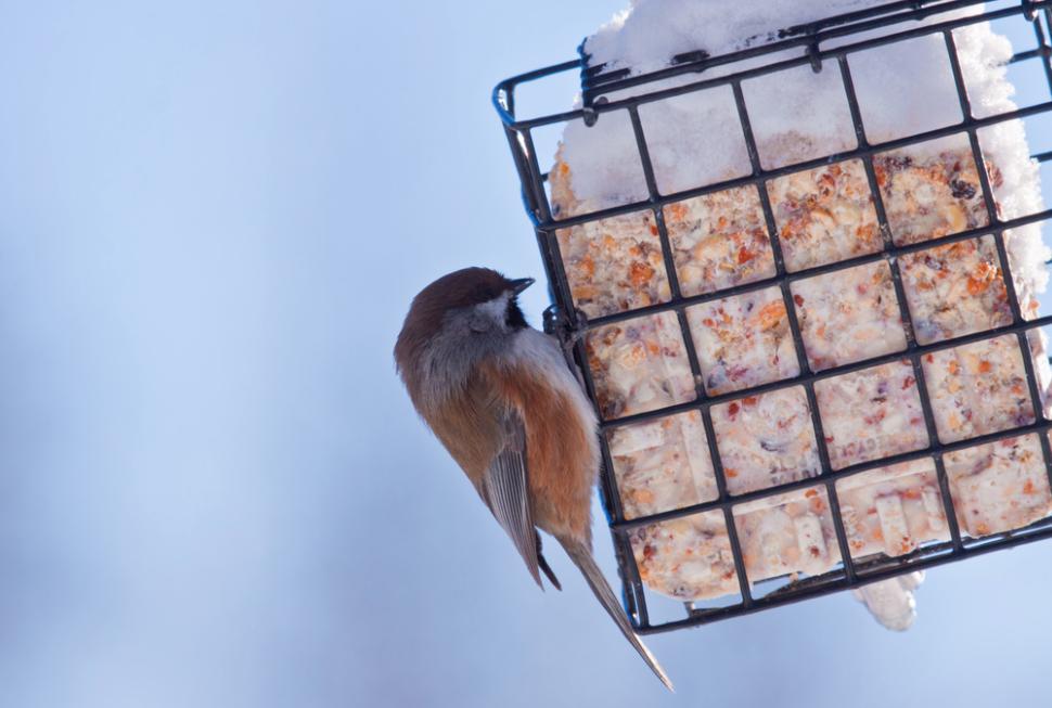Recette d'aliments pour oiseaux: Suet fait maison