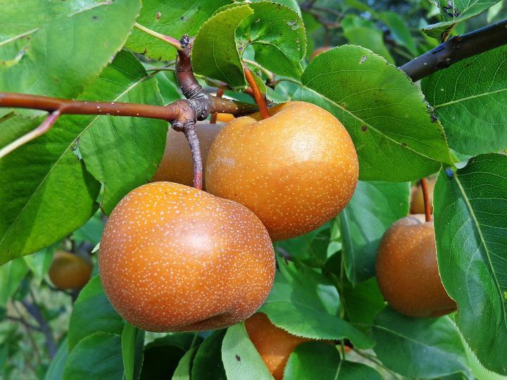 Cultiver des poires asiatiques: facile et exotique