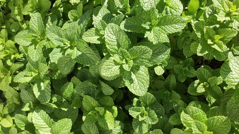 Avantages des plantes à la menthe: médicinales, culinaires, et plus