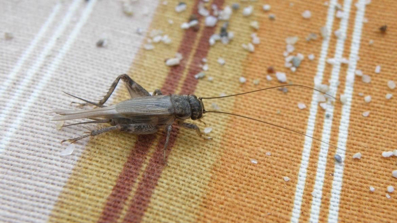 Faits de cricket et des grillons comme animaux de compagnie