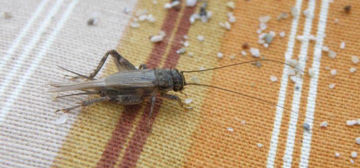 Faits de cricket et gardant des grillons comme animaux de compagnie