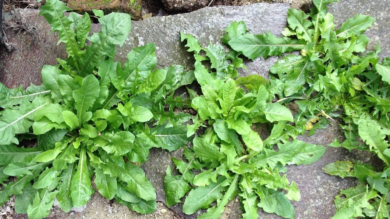 Mauvaises herbes communes de jardin: images et descriptions