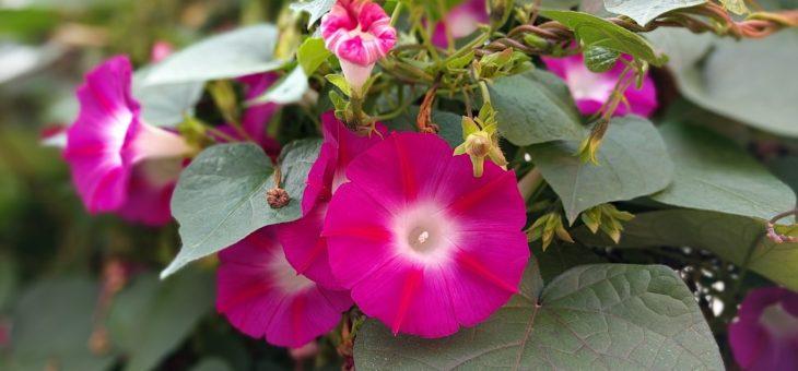 Comment planter, cultiver et prendre soin des fleurs de la gloire du matin