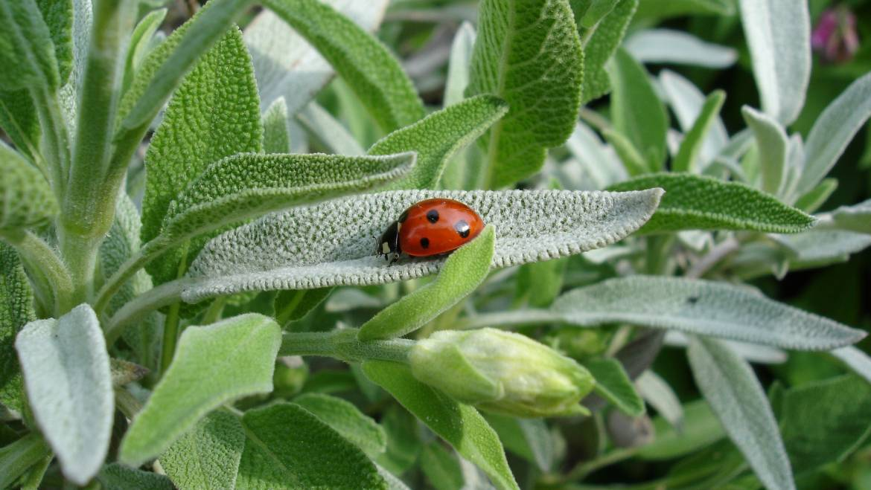 Sauge: planter, cultiver et récolter la sauge