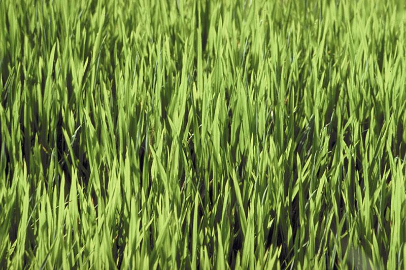 Conseils d'entretien des pelouses: semis, fertilisation, arrosage et tonte