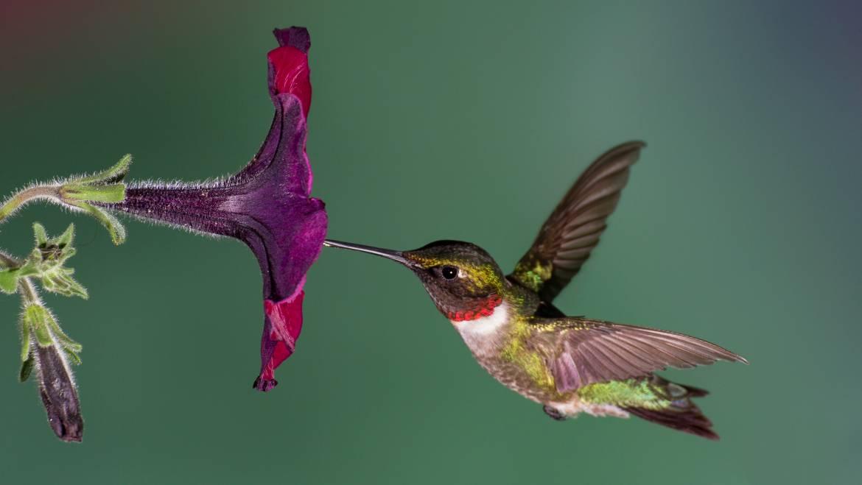Colibris à gorge rubis: Conseils pour observer et attirer les colibris