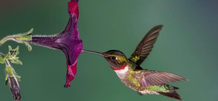 Recette de cuisine Colibri: Attirez les colibris dans votre jardin
