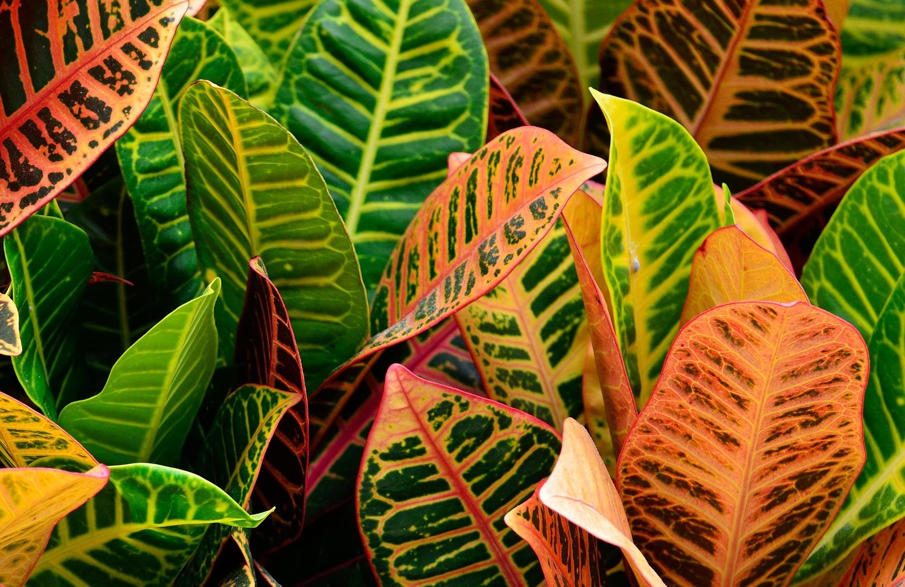 Croton: Comment cultiver et entretenir les plantes de Croton