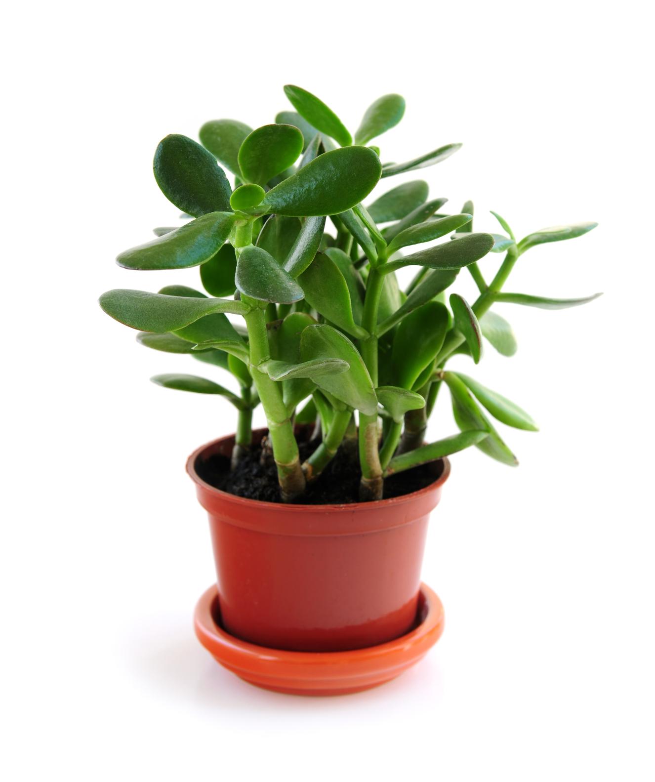 Plantes de jade: comment planter, cultiver et entretenir des plantes de jade