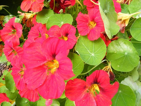 Fleurs que vous pouvez manger et utiliser comme médicament