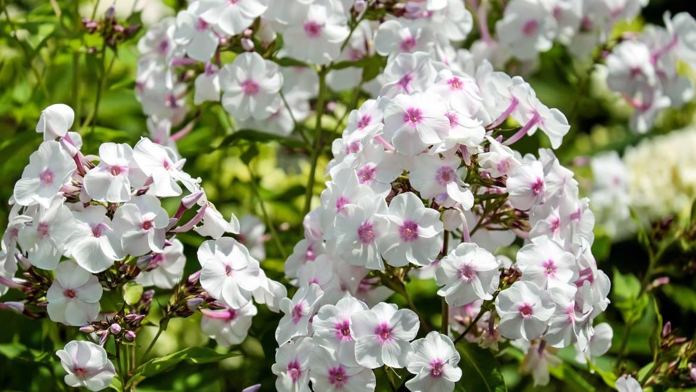 Phlox: Comment planter, cultiver et entretenir les fleurs de Phlox