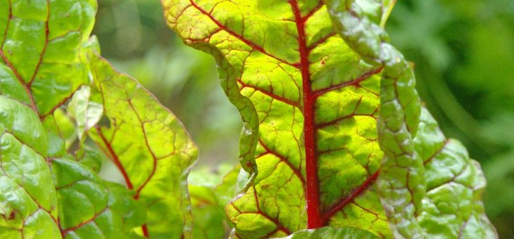 Bette à cardes: Planter, cultiver et récolter des bettes à carde