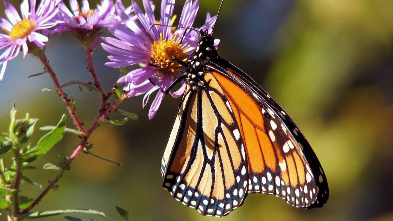 Des plantes qui attirent les papillons: Les meilleures plantes pour les papillons
