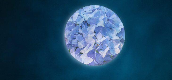 """La """"fleur bleue"""" se lève ce week-end"""