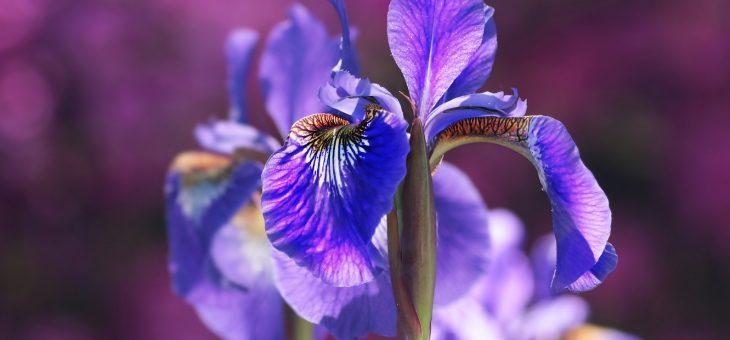 Iris: comment planter, faire pousser et entretenir des fleurs d'iris
