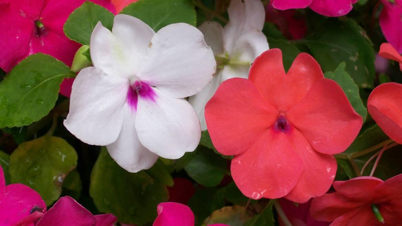 Impatiens: Comment planter, cultiver et entretenir les fleurs Impatiens