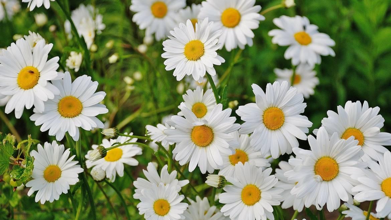 Marguerites Shasta: Comment planter, cultiver et entretenir les fleurs de marguerites