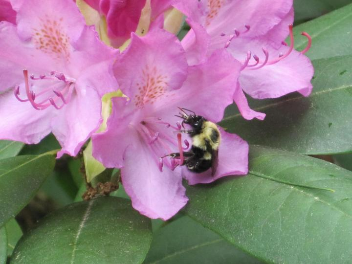 10 faits sur les bourdons: l'abeille amicale et floue!