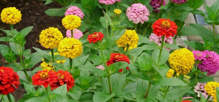 Zinnias: comment planter, cultiver et entretenir les fleurs de zinnia