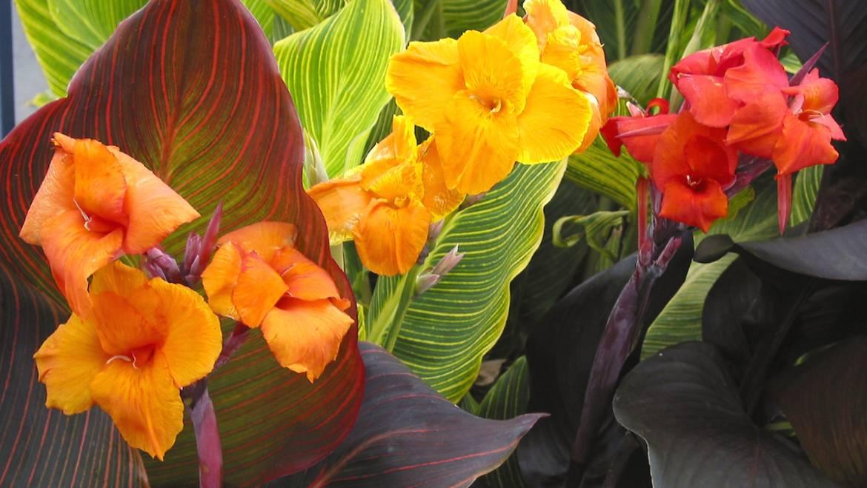 Cannas: Comment planter, cultiver et entretenir les fleurs de Canna