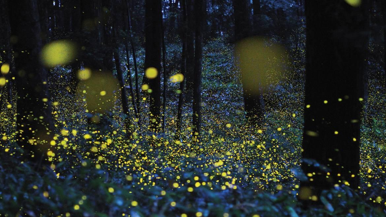 Lucioles, insectes de la foudre et vers luisants: pourquoi les lucioles brillent-elles? Comment attirer les lucioles