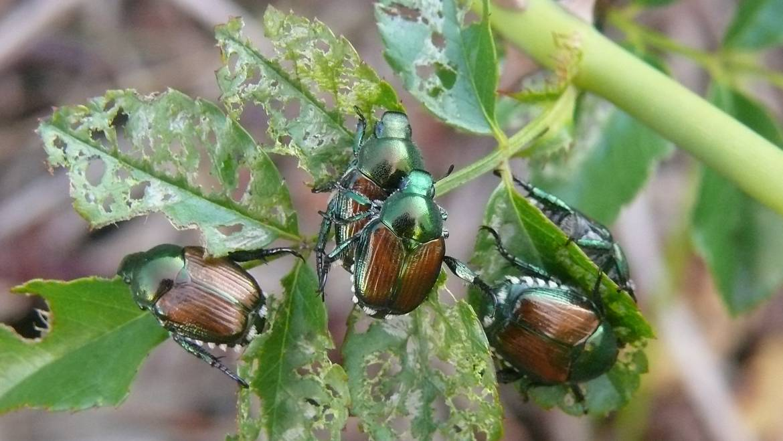 Les coléoptères japonais: les meilleures et les pires plantes