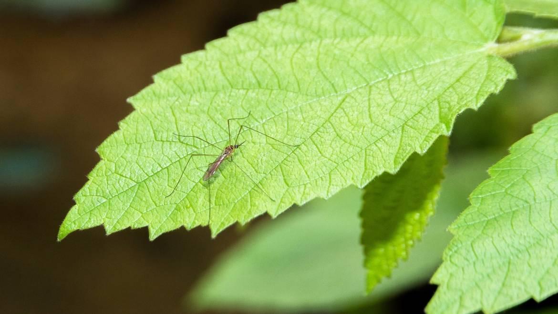 Les plantes qui repoussent les moustiques et autres insectes